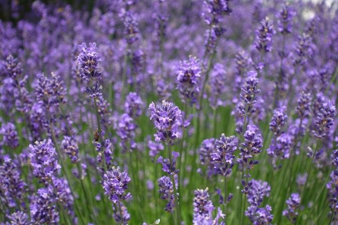 lavender-field-4120750_1280